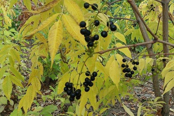 ягоды амурского бархата
