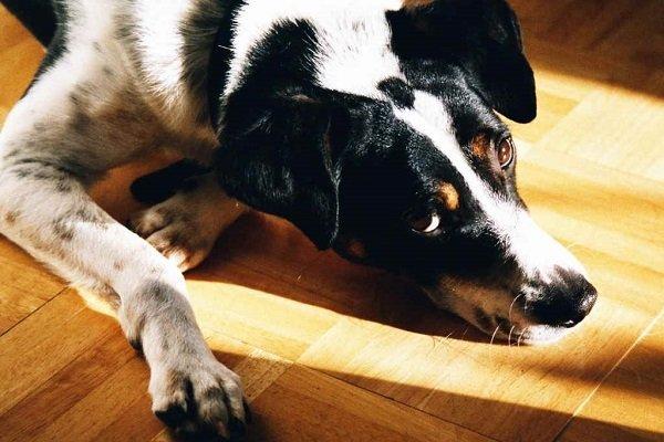 симптомы диабета у собаки