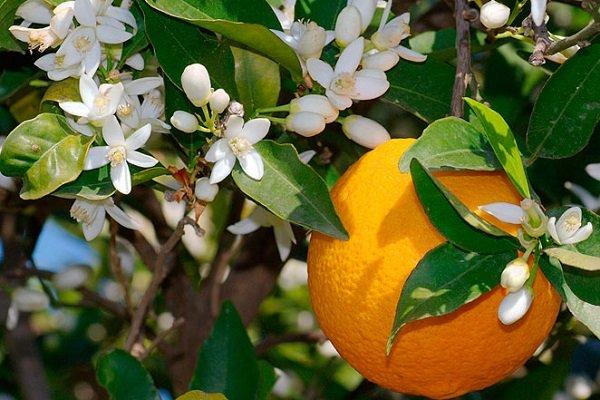 можно ли есть апельсины при сахарном диабете