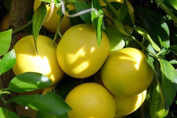 можно ли есть грейпфрут при сахарном диабете
